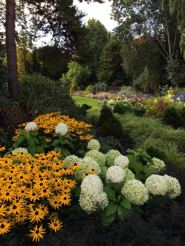 Hydrangea arborescens 'Annabelle' at Bressingham Gardens