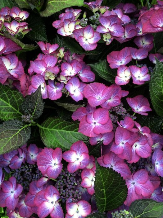 Hydrangea 'Dark Angel Purple'