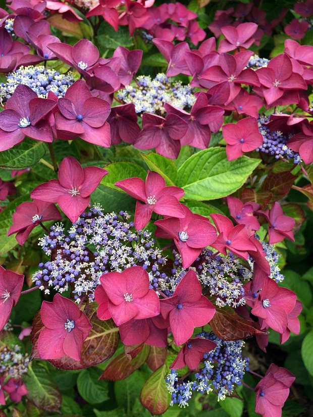 Hydrangea 'Rotschwanz' has pink bracts around blue and cream flowers