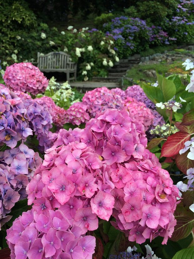 Hydrangeas with a garden bench at Holehird