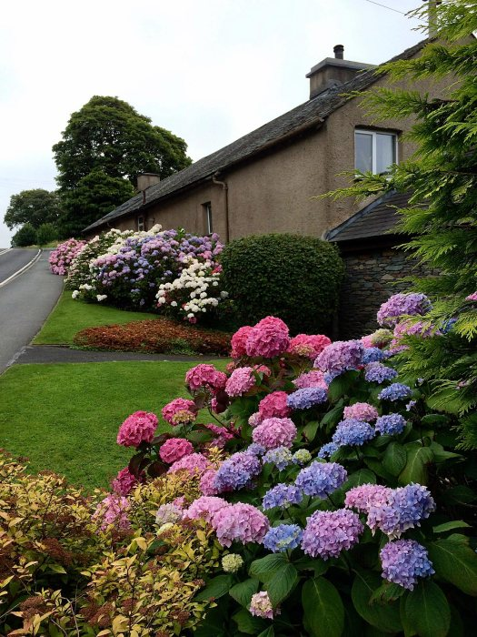 Hydrangeas along the roadside in Windermere