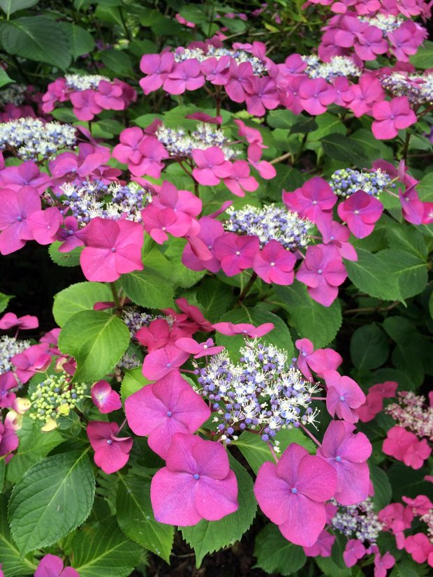 Bright pink lace cap hydrangea