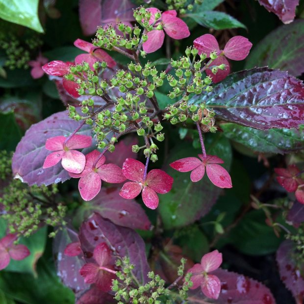 Lacecap hydrangea with seed