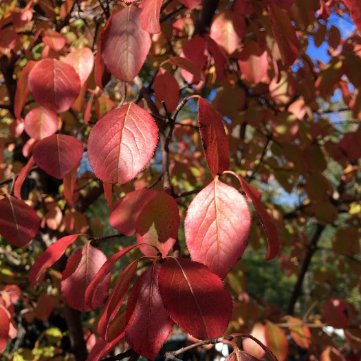 Cornus tree in autumn colour