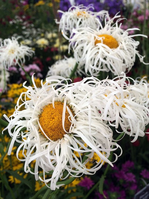 White shasta daisy with shaggy petals