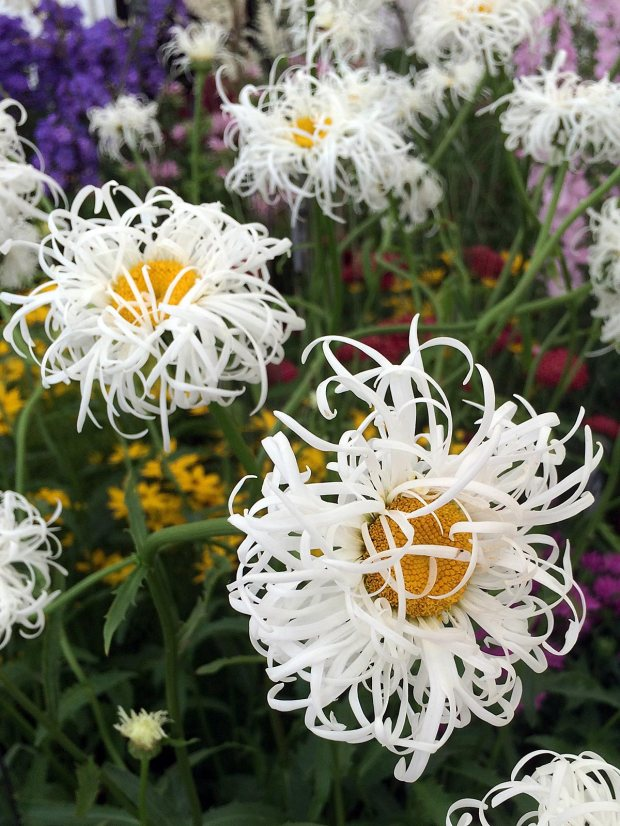Leucanthemum x superbum 'Old Court' with other flowers