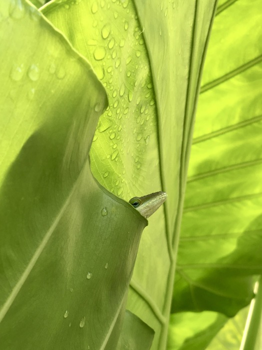 Green anole peeping out from its hiding place in a leaf