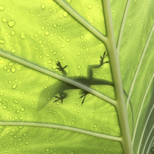 Shadow of an anole lizard seen through a backlit leaf