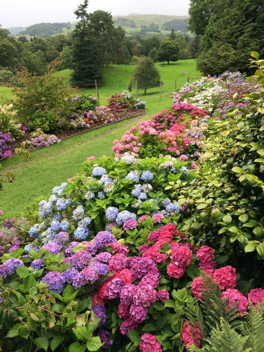Hillside of hydrangeas at Holehird Gardens
