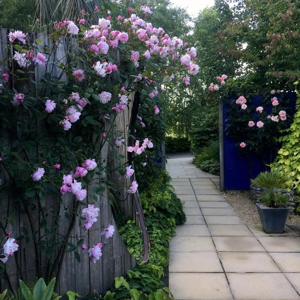 Mortimer Sackler climbing rose overhangs a path