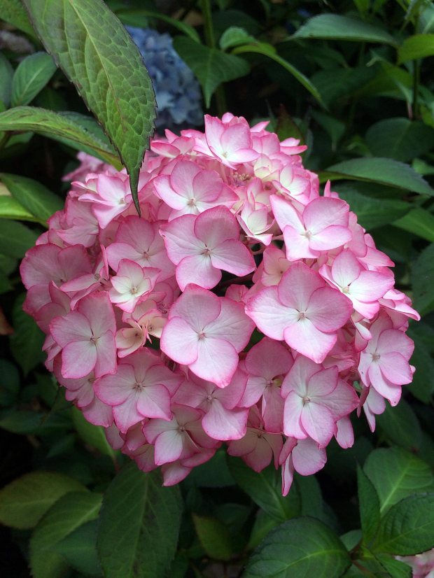 Hydrangea with pink picotee edge against pale background colour