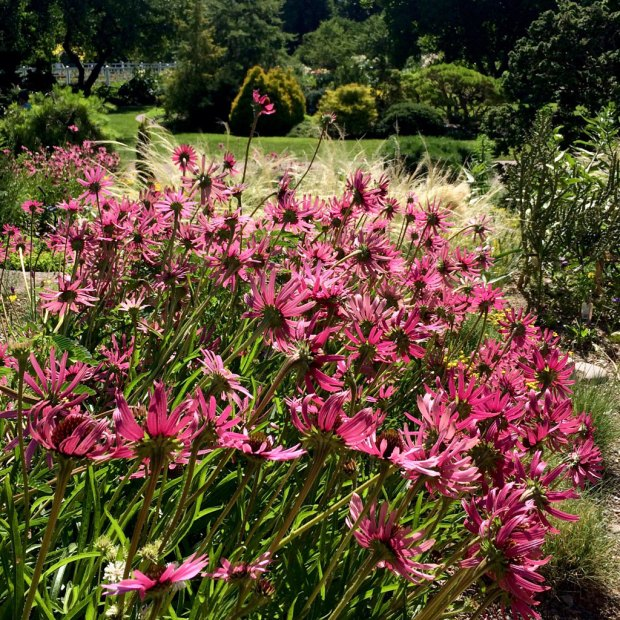 Pink daisy flowers made translucent by sunlight