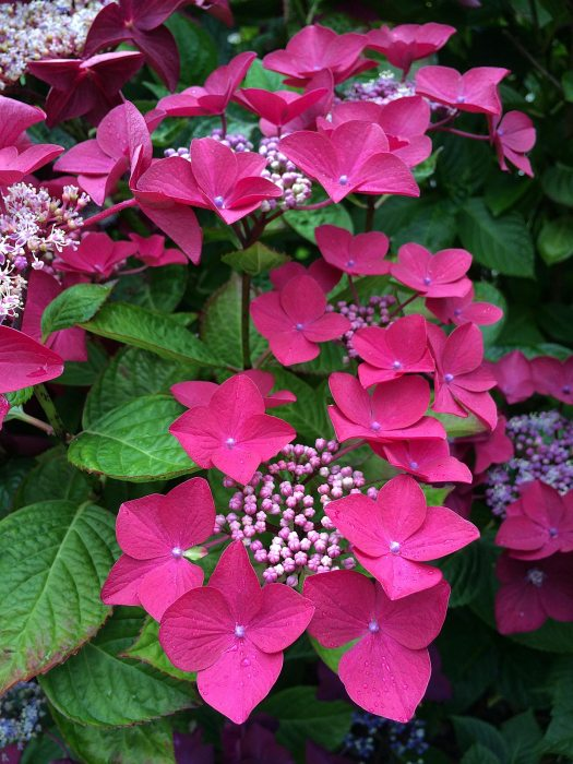 Pink lacecap hydrangea with closed centre buds