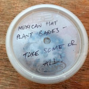 Mexican Hat Plant Babies (seeds)