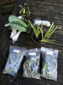Houseplant cuttings and divisions