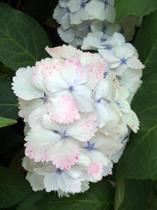 White mophead hydrangea, speckled pink, with blue centers