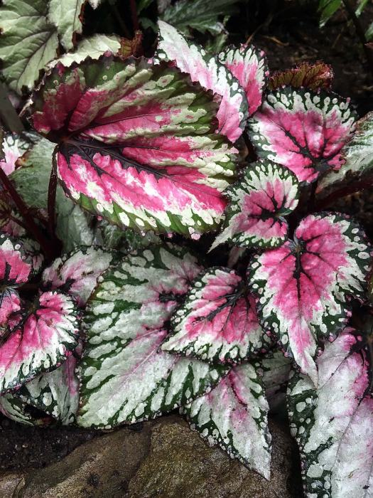 Red, green and silver patterned begonia