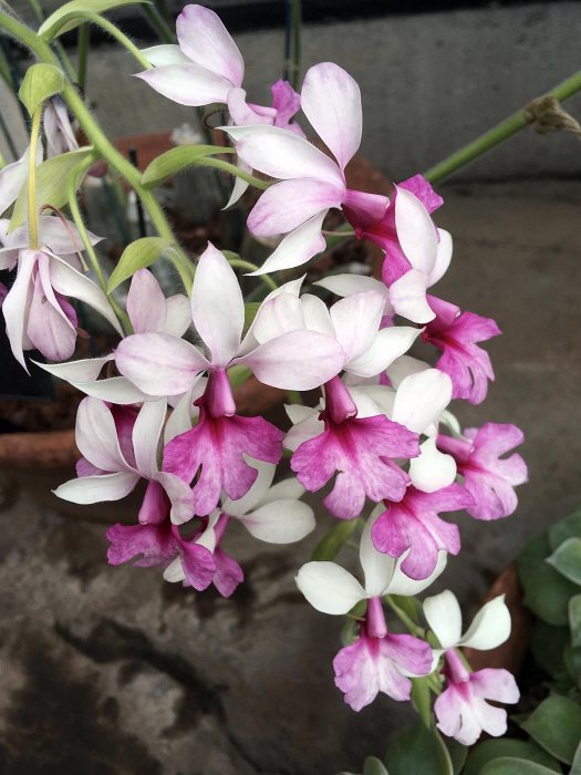 Pink and white orchid: Calanthe William Murray gx