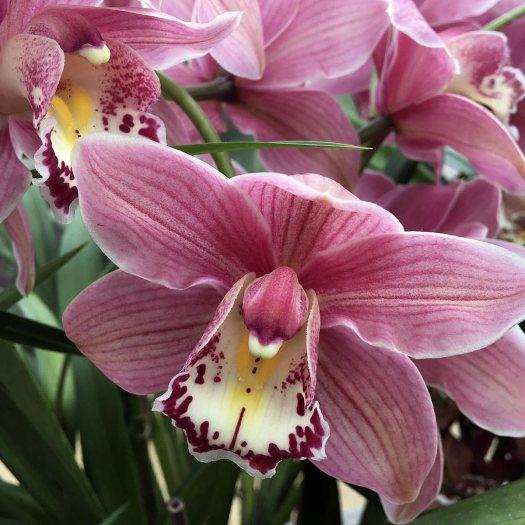 Pink flowered orchid: Cymbidium Gorey gx 'Faldouet'