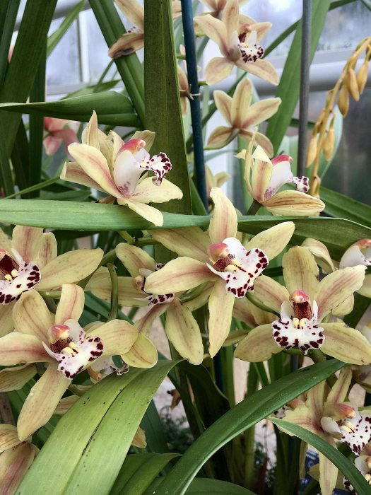Cymbidium Ming gx 'Pagoda' flowering at Wisley