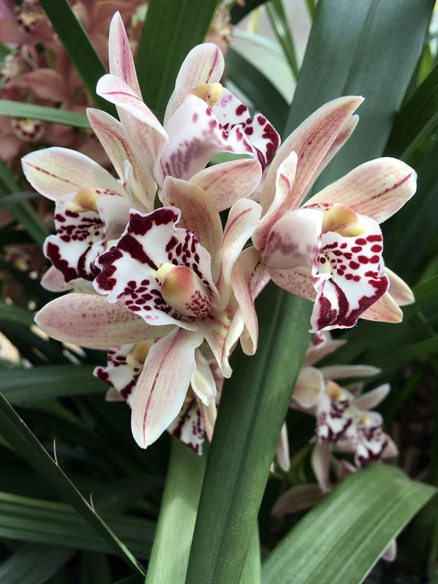 Pale Cymbidium orchid with darker splotches, spots and stripes