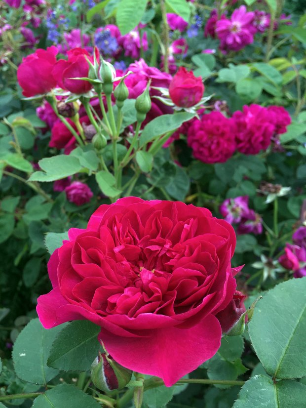 Rosa 'Darcey Bussell' - a crimson English rose
