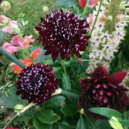 Black scabious on Petals & Twig's display at Southport Flower Show