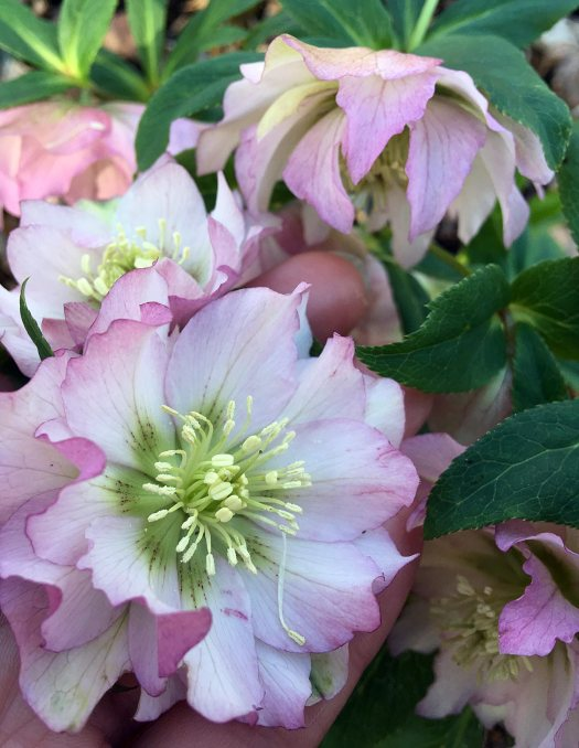 Double hellebore with pale pink flowers