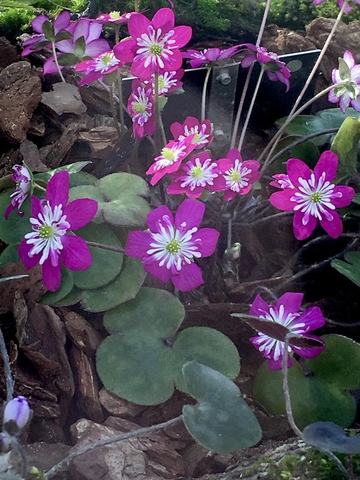 Pink and white semi-double Hepatica