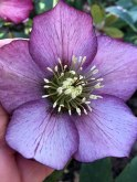 Close up of beautiful lilac hellebore with darker edge