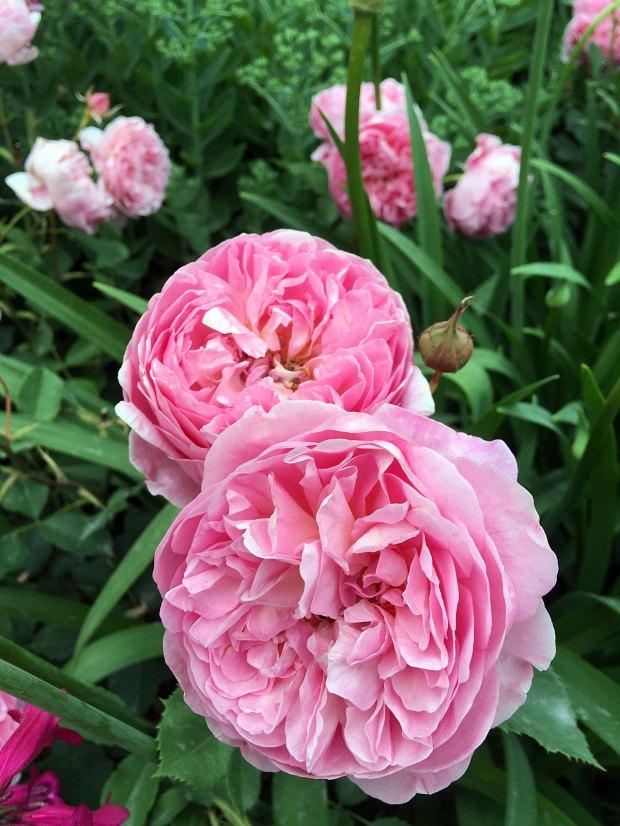 Rosa 'Boscobel' - a pink English rose