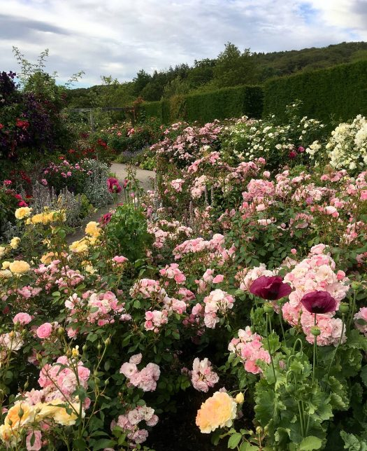 Rose garden in flower during Rosemoor's Festival of Roses