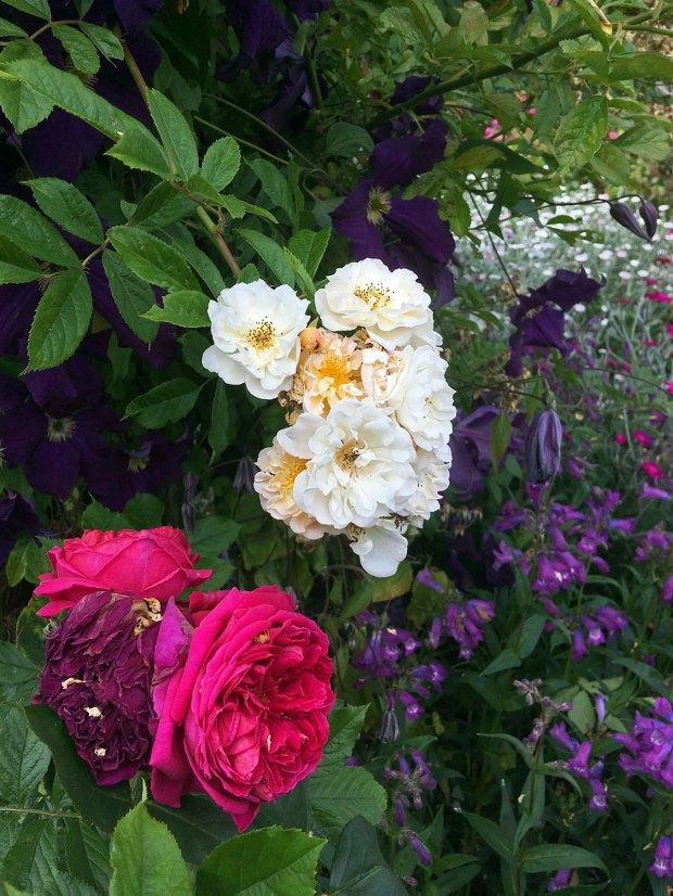 Roses and perennials at Rosemoor Garden