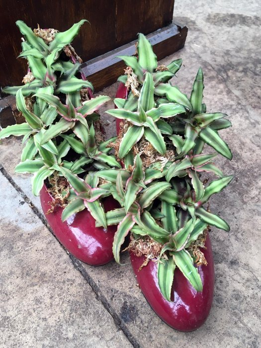 Red shoes planted with bromeliads