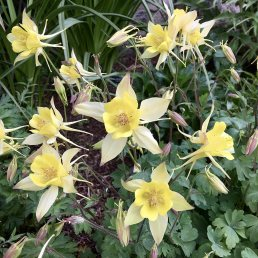 Pale yellow Aquilegia