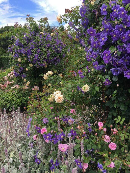 Clematis 'Perle d'Azur' in a rose garden