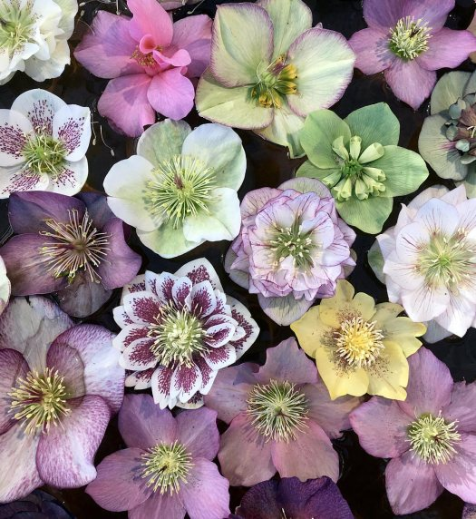 Hellebore flowers of different colours and one camellia
