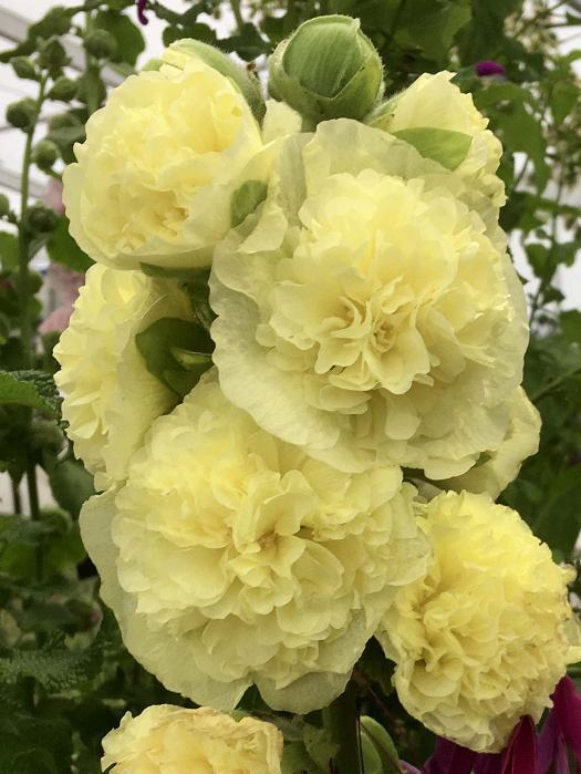 Alcea rosea 'Banana' - double yellow hollyhock