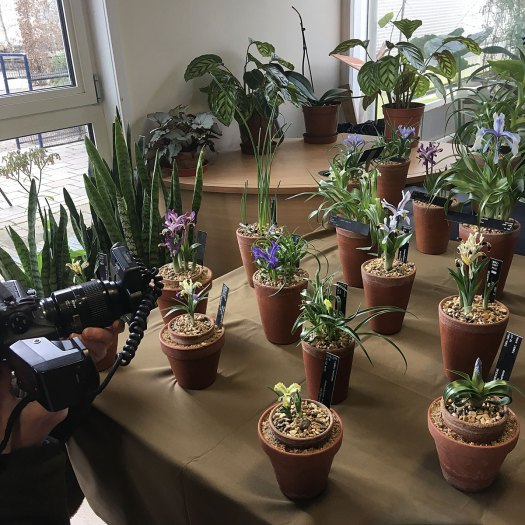 Photographer taking pictures of specimens at the Iris reticulata show