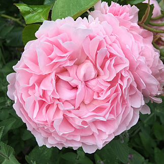 Picture of rosette shaped English Rose