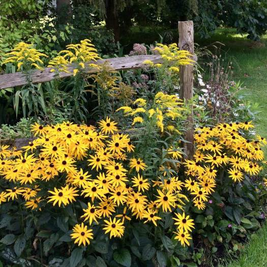 Yellow flowers around a split rail fence