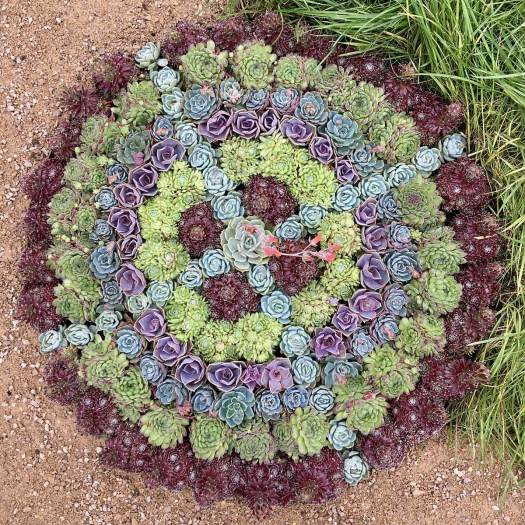 Overhead view of hens and chicks mandala
