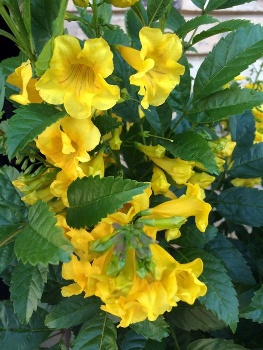 Tecoma stans - bright yellow trumpet flowers