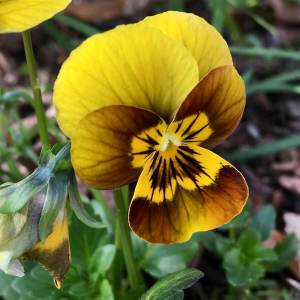 Yellow and brown pansy