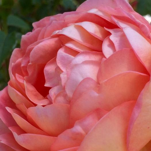 Close up of a double apricot rose with sheeny petals