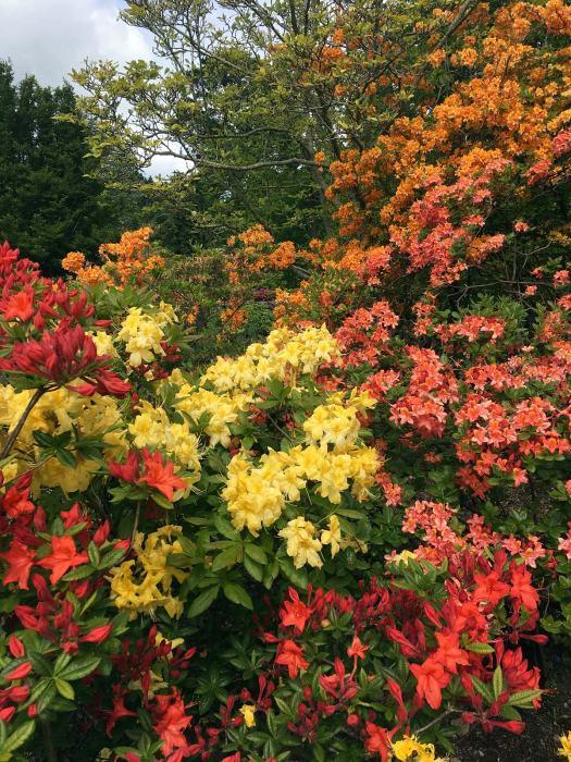 Orange and yellow azaleas flowering at Bodnant