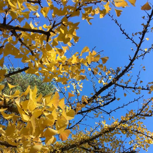 Gingko tree with golden leaves in autumn