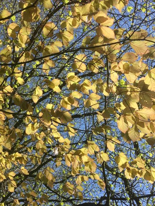 Spring beech tree canopy with golden leaves