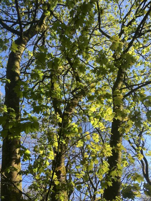 Sycamore tree canopy with bright green leaves