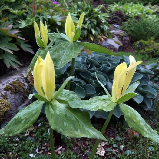 Yellow trillium grown with hosta in a rock garden